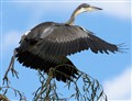 Fall day South African Black Headed Heron capture