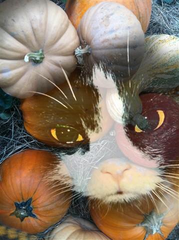 pumpkin cat