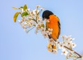Baltimore Oriole (Maryland)
