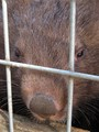 A Wombat's Nose