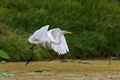 An egret taking off to go find breakfast.