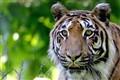 Tiger, tiger_1 RS