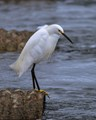 Snowy Egret Looking to Snatch a Meal