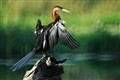 African Darter - Anhinga Rufa