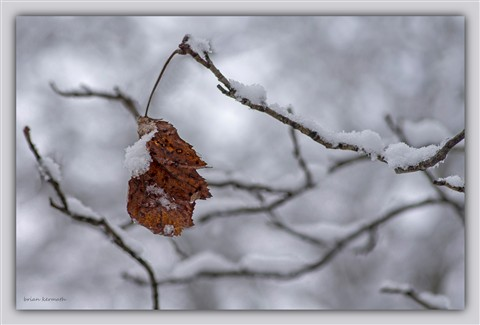 Snow on a brown leaf and twigs