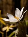 Bloodroot. Sanguinaria canadensis.