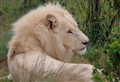 RECLINING WHITE LION