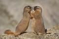 Kissy Face Marmots