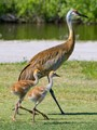 Two sand hill crane chicks walking with their mom.
