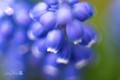 nice day to be around my garden, these blue hyacinths, really starting blooming the last 3 days.