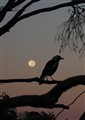 Magpie's Moon