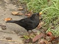 Blackbird in Garden Terrace