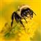Bumblebee On Goldenrod