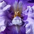 Iris #4 © Mary Ann Machi