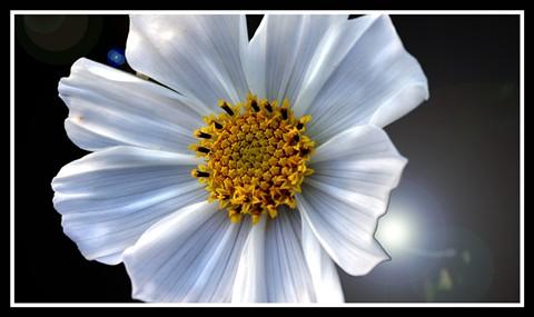 Cosmos (perhaps Cosmos bipinnatus, sonata white variety - Asteraceae)