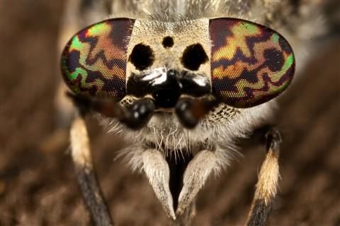horsefly-eyes