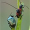 Invert_2012_06_23_Stranalia_melanura_Cetonia_aurata_Lucilia_sericata_6254