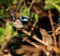 Superb blue wren and chick