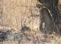 Three cheetahs in the shade