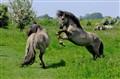 Competing stallions, nature reserve Blauwe Kamer, Rhenen (NL)