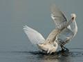 Egrets fight