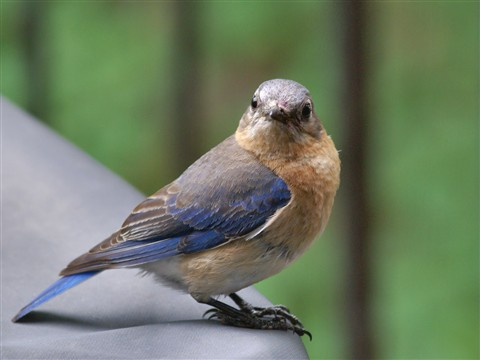 Female Eastern Bluebird - through double pane glass