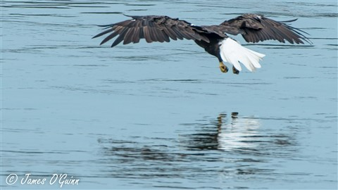 Bald Eagle - Floating Fish-2