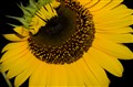 Sun Flower at night
