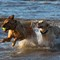 Christmas Ball Chase: Two dogs thoroghly enjoying chasing a ball in the sea at Old Hunstanton.