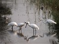 Black-faced Spoonbill & others