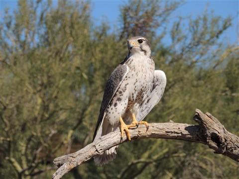 Gray Hawk at the Arizona Sonoran Desert Museum