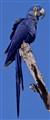 Hyacynth Macaw