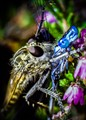 Robberfly and Damselfly-2906