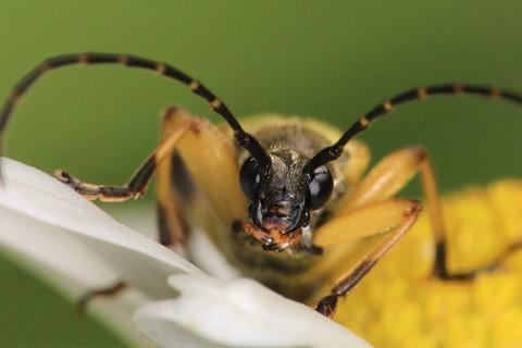 Beetle - Rutpela maculata (Black-and-Yellow Longhorn Beetle) 210704 (1)