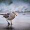 Gull, Point Reyes