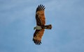 Red Kite Over Ko Phi Phi