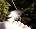Chickadee landing on hand for peanuts