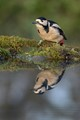Woodpecker Reflection.