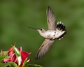 Black-chinned Hummer