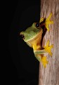 Orange-thighed Treefrog