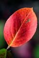 Autumn Colour - Red