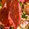 Morning Red Leaf