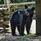 Black Bear Burnaby Lake