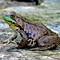 DSCN0196 - Green Frog