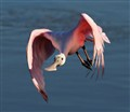 Spoonbill Flight Over Water