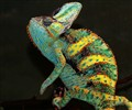 VEILED CHAMELEON  AND  COLOURFUL SCALES
