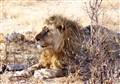 lion afrika