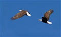 Bald Eagles: Dogfight