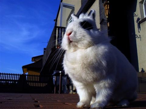 Giant Dwarf Rabbit