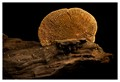 The lingzhi mushroom or reishi mushroom is a species complex that encompasses several fungal species of the genus Ganoderma, most commonly the closely related species Ganoderma lucidum, Ganoderma tsugae, and Ganoderma sichuanense.